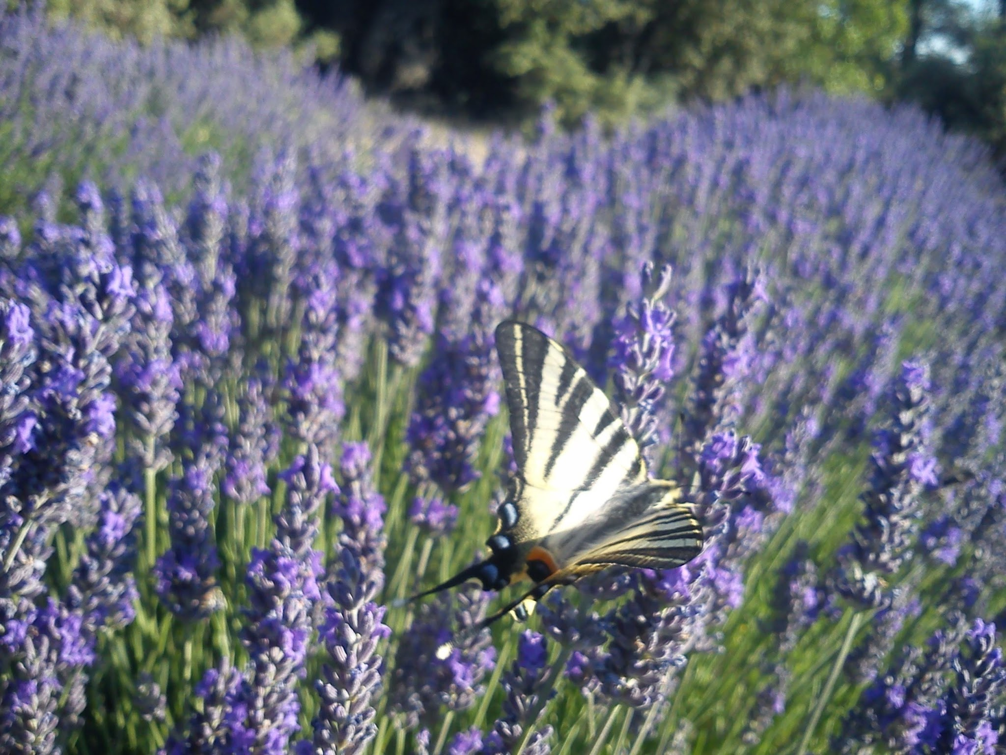 Swallowtail butterfly landed on lavender