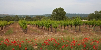 Vineyards and poppies in Provence's countryside